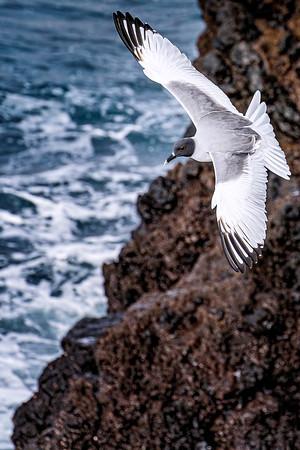 Swallow-tail Gull Copyright 2020 Steve Leimberg UnSeenImages Com _DSC6894