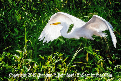 Egret in Flight Painting Copyright 2019 Steve Leimberg UnSeenImages Com _A6I7755
