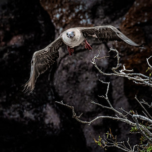 Red-footed Booby in Flight Copyright 2020 Steve Leimberg UnSeenImages Com _DSC8315