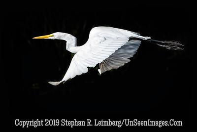 Egret in Flight II Copyright 2019 Steve Leimberg UnSeenImages Com _A6I8728