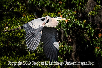 Blue Heron in Flight Copyright 2019 Steve Leimberg UnSeenImages Com _Z2A1933
