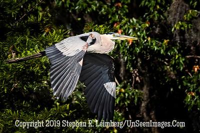 Blue Heron in Flight Copyright 2019 Steve Leimberg UnSeenImages Com _Z2A1933