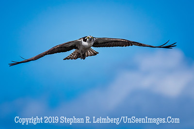 Osprey Hunting Copyright 2019 Steve Leimberg UnSeenImages Com _A6I7891