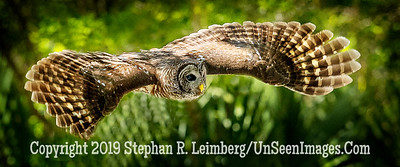 Bard Owl in Flight Copyright 2018 Steve Leimberg UnSeenImages Com _A6I1629