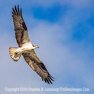 Osprey in Flight Coo;pylright 2019 Steve Leimberg UnSeenImages Com _A6I8814