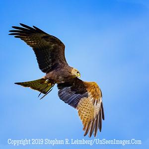 Tawney Eagle Aloft - Copyright 2018 Steve Leimberg UnSeenImages Com _A6I8615