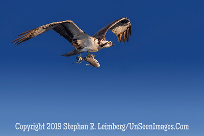Osprey with Fish Copyright 2014 Steve Leimberg v2 - UnSeenImages com _H1R9398