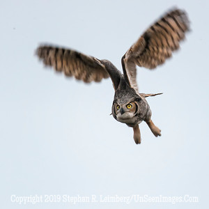Great Horned Owl Wings Up Jan 26 2014 Steve Leimberg - UnSeenImages com _H1R0031