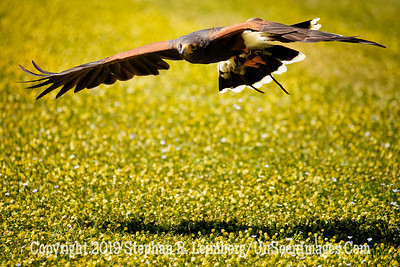 Harris Hawk in Flight Copyright 2018 Steve Leimberg UnSeenImages Com A6I0239