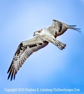 Osprey Copyright 2019 Steve Leimberg UnSeenImages Com _Z2A2196