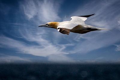 Cape Gannet Iceland Copyright 2021 Steve Leimberg UnSeenImages Com DSC05005 copy