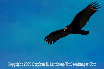 Turkey Vulture in Flight 2014 Steve Leimberg - UnSeenImages com_H1R5745