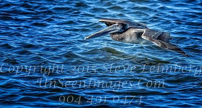 Pelican in Flight - Copyright 2016 Steve Leimberg - UnSeenImages Com _M1A4754