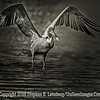 Pelican in Flight - Copyright 2014 Steve Leimberg - UnSeenImages Com _M1A2803