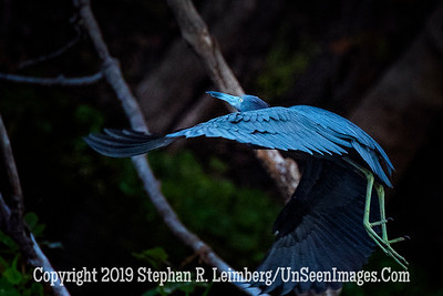 Blue Heron in Flight Copyright 2019 Steve Leimberg UnSeenImages Com _A6I2929