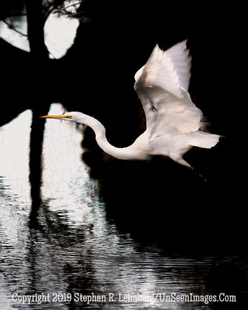 Egret in Flight Steve Leimberg - UnSeenImages com 2014 _H1R5649