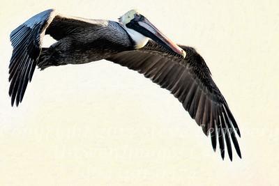Pelican in Flight - Copyright 2016 Steve Leimberg - UnSeenImages Com _M1A4683