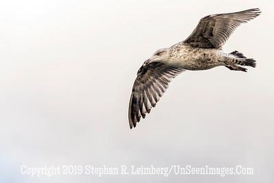Brownish Seagull 20130427_0710