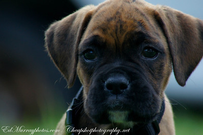 "Dolce: Meet my next door neigbor's 12 week old Boxer puppy ""Dolce"""