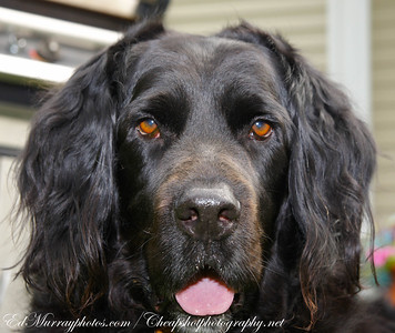 Truman: This guy is part lab and part Newfoundland and is the friendliest and most easy going dog I've ever seen. He's a big throw rug with eyes