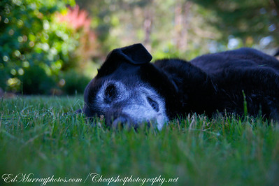 A Pooch for Paula (Beehner): Here's 14 year old Cody... today he found himself a nice shady spot in the yard to beat the heat..