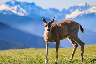 An Olymic Deer
