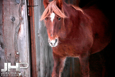 """Red Emerges From The Barn"", Hillsdale, ON, Canada, 2011 Print JP11-1210-133"