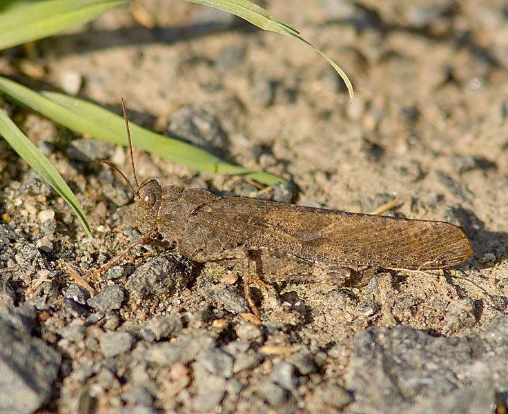 grasshopper_QBG_Oct1001