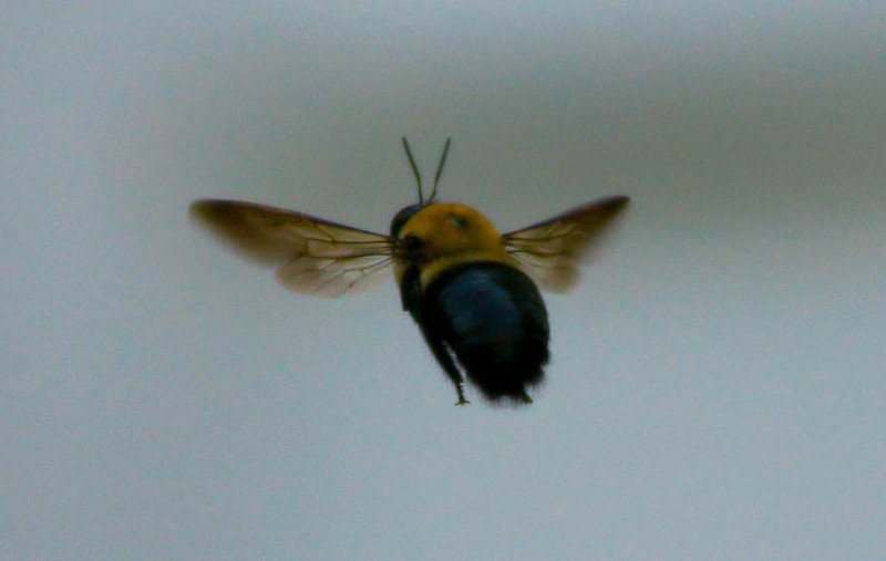 Bee Float: I hope everyone had a great weekend. - This isn't the greatest of shots but it's not too often that I can get a bee in mid-flight.