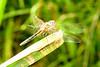 dragondfly2187