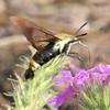 Hummingbird Moth<br /> Jim Ziebol Butterfly Garden