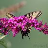 Tiger Swallowtail <br /> Florissant Mo.
