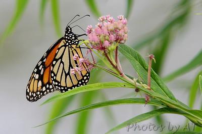 Monarch<br /> (Danaus plexippus)