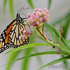 Monarch<br /> (Danaus plexippus)