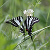 Zebra Swallowtail <br /> Lost Valley Trail <br /> Weldon Springs Conservation Area