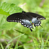 Spicebush Swallowtail <br /> Greer Crossing Access on the Eleven Point River