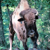 Charge! <br /> American Bison <br /> Lone Elk Park <br /> St. Louis County