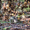 Whitetail Deer <br /> Hiding at Lone Elk Park <br /> St. Louis County