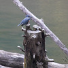 Belted Kingfisher <br /> Lone Elk Park <br /> St. Louis County