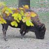 American Bison  <br /> Lone Elk Park <br /> St. Louis County