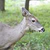 Whitetail Deer <br /> Lone Elk Park <br /> St. Louis County
