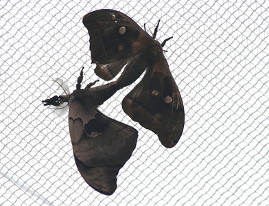 Moth  mating (BZ)