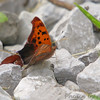 Question Mark<br /> (Polygonia interrogationis)