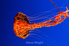 Black Sea Nettle - Monterey Bay Aquarium #7405