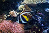 Angelfish - Monterey Bay Aquarium #7266