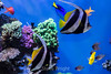 Angelfish - Monterey Bay Aquarium #7260