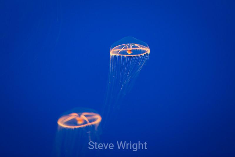 Moon Jellies - Monterey Bay Aquarium #7450