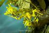 Leafy Sea Dragon - Monterey Bay Aquarium #7491