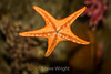 Bat Star - Monterey Bay Aquarium #7356