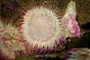 Aggregating Anemone - Monterey Aquarium (15) D